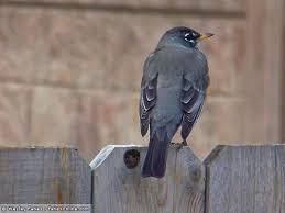 Florida Backyard Birds - wesley u0027s backyard birds american robin