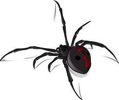 black widow spider in northern ca aai pest control