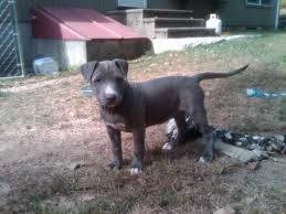 american pit bull terrier lab mix another pit bull attack page 4 the hull truth boating and