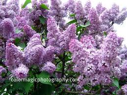 tree with purple flowers summer flowering trees their large panicles of flowers in all