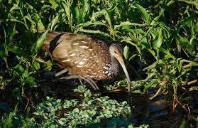 limpkin audubon field guide
