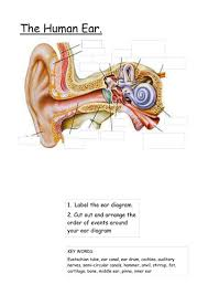 ear diagram and function sort by emmaushead teaching resources tes
