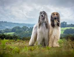 afghan hound rescue england watch real life lassie injured dog leads vet to abandoned