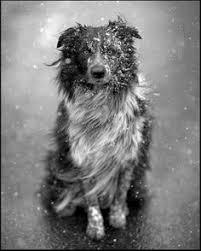 belgian sheepdog rescue ontario majestic belgian shepherd dog groenendael dog photography puppy