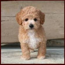 haircutsfordogs poodlemix poochon aka bichon poodle puppy i love this guy for the home