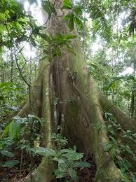 Tropical Rainforest Plant List - amazon rainforest plant facts