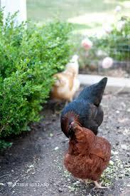 Backyard Chickens Magazine Interview Heather Bullard From Country Living Magazine Talks
