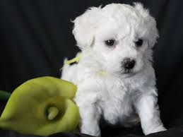 bichon frise 7 weeks old cuddlyk9 home of the beautiful bichon frise bichon frise puppies