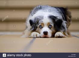 australian shepherd k dog australian shepherd aussie stock photos u0026 dog australian