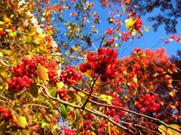 11 best trees to plant for new england style foliage gardenista above better known for their posies of scented blossom in mid spring hardy hawthorns crataegus species and cultivars are yellow and russet beacons in