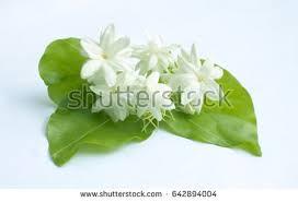 Jasmine Tea Flowers - arabian jasmine stock images royalty free images u0026 vectors
