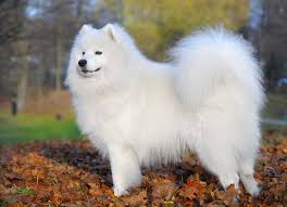 australian shepherd overweight what is the best dog food for a samoyed dog food guru