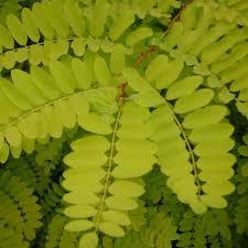 robinia pseudoacacia frisia false acacia trees