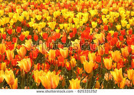 Yellow Orange Flowers - pink and orange flowers stock images royalty free images