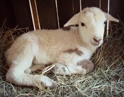 livestock u0026 poultry taproot farm