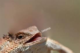 Lizard Meme - th id oip jucqz yuper2 gt9tzminghae7