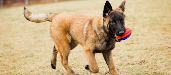 belgian sheepdog 101 belgian malinois dog breed
