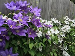 how to care for clematis goodstuffathome