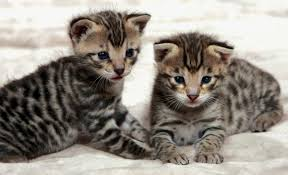 a brief insight into different generations of the savannah cat young savannah cats