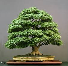 the basics of bonsai learn how to grow bonsai for beginners