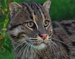out of sight out of mind asia u0027s elusive fishing cat in trouble