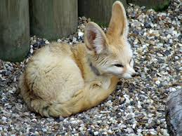 file fennec fox africa alive lowestoft jpg wikimedia commons