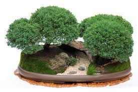 bonsai australian native plants 143 best bonsáis bosque images on pinterest bonsai trees bonsai