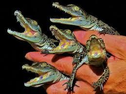 alligator claws baby alligators wallpaper yvt2 jpg