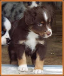 australian shepherd puppies 7 weeks ghost eye mini aussie avail xmas 2014 litter 7 pup5 jessie blue