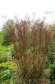 big bluestem andropogon gerardii indian warrior from saunders