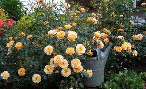 Different Color Roses Do You Love Roses Grow 45 Colors Rose At Home Plant Talk