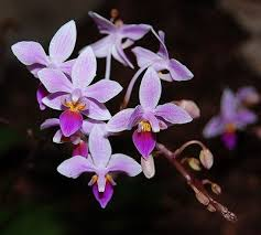 purple orchids types of purple orchids with pictures ehow