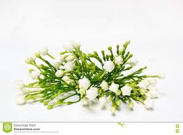 beautiful bouquet of white budding gardenia jasminoides flower