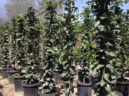 plant of the month stephanotis floribunda evergreen nursery