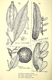 botanical sts botanical drawings of australian citrus bush tucker