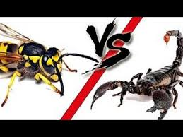Youtube Backyard Fights Hornet Vs Scorpion Fighting Japanese Bug Fights Bugs And