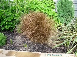 springtime gardening pruning ornamental grasses live creatively