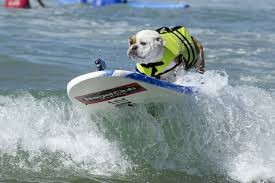 here are adorable photos of dogs surfing because it u0027s monday and
