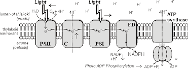 What Happens During The Light Dependent Reactions Of Photosynthesis Master Frameset