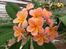 plumeria flower plumeria buy online direct from the grower the plumeria