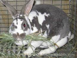 october rabbit breeding did the doe get pregnant