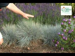 festuca boulder blue drought proof ornamental grass