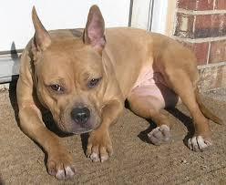 american pit bull terrier zucht 11 der besten mischlinge aus französischen bulldoggen
