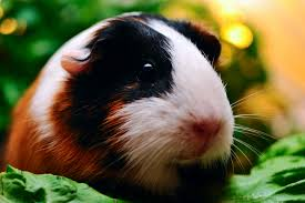 How To Say Living Room In Spanish by Living With Guinea Pig Allergies Petfinder