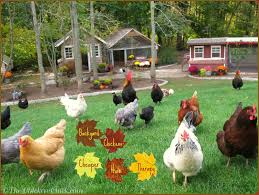 chicken breeds that get along with a new hampshire hen free