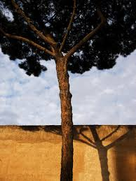 rome pine tree stock photo image of landscape color 23532264