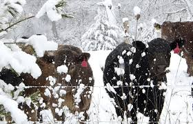what do grass fed cattle eat in the winter against the grain