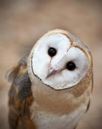 Where Do Barn Owls Live Best 25 Barn Owls Ideas On Pinterest Owls Beautiful Owl And