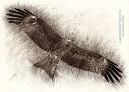 black kite by ambr0 on deviantart