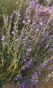 los angeles native plants penstemons for california gardens